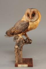 Udstoppet slørugle (Tyto alba) (2)