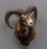 Skuldermonteret Muflon (Ovis orientalis orientalis)