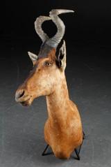 Skuldermonteret jagttrofæ, Red Hartebeest.