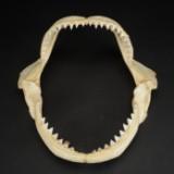 Haj gab med tænder.  B. 42 cm. H. 37 cm.