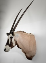 Trofæ af skuldermonteret Oryx (1)