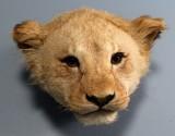 Hovedmonteret løve, ung han, L. 38 cm.