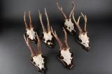Samling jagttrofæer, råbukke (6)