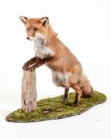 Uppstoppad räv, stående mot stubbe av Åke Bursell