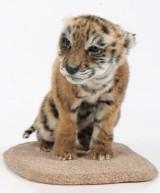 Sibirian tiger, 'Panthera Tigris Altaica'