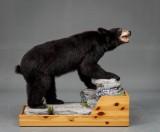 Full mount, black bear (Ursus Americanus)