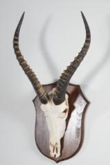 Jakttroféer 3 st, springbock (3)