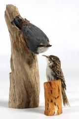 Nötväcka samt trädkrypare