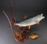 Tigerfish samt piratfisk. (2)