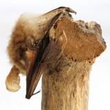 Långörad fladdermus