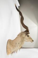 Præparat, hoved-skulder-montering, kudu