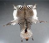 Stort Zebraskind, klasse A. Bergmann zebra (Equus zebra), L. 335 cm