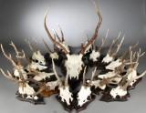 En samling jagttrofæer (18)