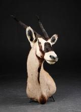 Oryx/Gemsbok. Skuldermonteret