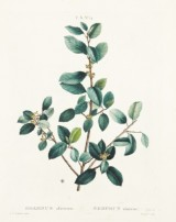 Växtplanscher efter Redouté ca 1801