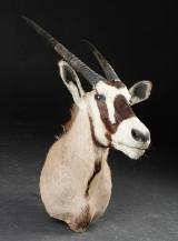 Skuldermonteret jagttrofæ, oryx/gemsbok. H. 128 cm