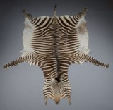 Zebraskind (1).