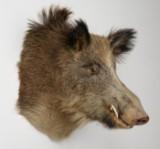 Hovedmonteret trofæ af vildsvin (1).