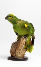 Blåpandet Amazonpapagøje(Amazona aestiva). Udstoppet.
