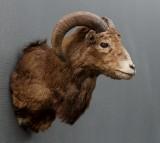 Jagttrofæ: Skuldermonteret muflon