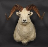 Shoulder-mounted North American Dall's sheep, hunting trophy