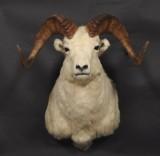 Skuldermonteret, nordamerikansk Dall sheep, jagttrofæ