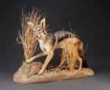 Brunrygget Sjakal (Canis mesomelas) Fuldmonteret