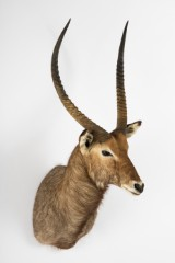 An animal specimen, head and shoulder mount of a waterbuck