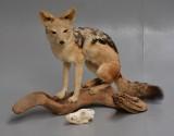 Jagttrofæ af fuldmonteret brunrygget Sjakal (Canis mesomelas), medfølgende kranium