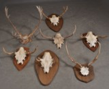 Samling jakttroféer. Älghorn samt kronhjort (7)
