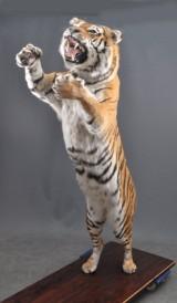 Sibirisk Tiger (Panthera tigris altaica)