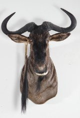 Sydafrikansk jakttrofé.  Blue Wildebeest Gnu