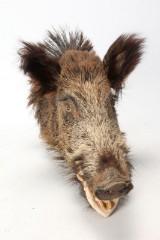 Hovedmonteret vildsvin