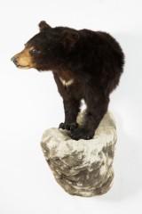 Præparat/jagttrofæ, hoved-overkrop-montering af en sortbjørn