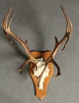 Dyrepræparat canadisk karibu, rensdyr, gevir monteret på træplade