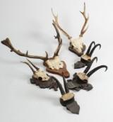 Samling skalmonteret jagttrofæer (6)