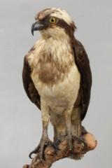 Udstoppet Fiskeørn (Pandion haliaetus).