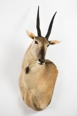 Jagttrofæ af eland-antilope, hoved-skulder-montering