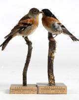 Bergfink, hane och hona, Gustaf Bryngelsson, 2 st