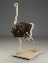 Fuldmonteret Struds. (Struthio camelus)