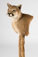 Puma/jagttrofæ, dermoplastik, præparat, hoved-skulder-montering, med certifikat