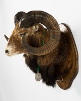 An animal specimen, head and shoulder mount, mouflon on a trophy shield of wood, with medal