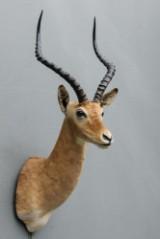 Jagttrofæ: Skuldermonteret impala